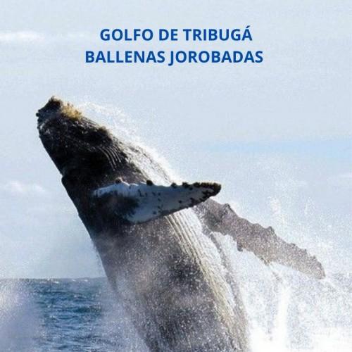 NUQUÍ - GOLFO DE TRIBUGÀ, PUNTA GACHALITO, OBSERVACION DE BALLENAS PACIFICO COLOMBIANO
